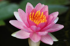 Waterlily rosa zingaresco Fotografie Stock