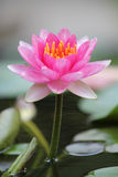 Waterlily rosa zingaresco Immagine Stock