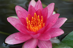 Waterlily rosa zingaresco Fotografia Stock