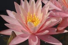 Waterlily rosado Foto de archivo libre de regalías