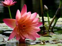 Waterlily rosado Foto de archivo