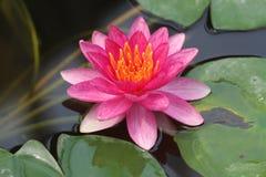 Waterlily rose gitan Image libre de droits