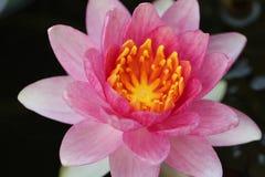 Waterlily rose gitan Images stock