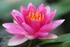 Waterlily rose gitan Images libres de droits