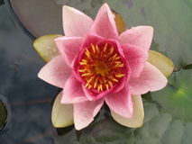 Waterlily single pink flower on water surface Stock Photography