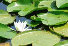 Waterlily. In Skadar lake (national park) in Monte Negro Stock Images