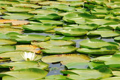 Waterlily. In Skadar lake (national park) in Monte Negro Stock Photography