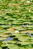 Waterlily. In Skadar lake (national park) in Monte Negro Royalty Free Stock Photography