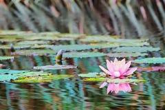 Waterlily in stagno Fotografia Stock