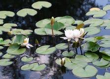 Waterlily staw z odbiciami Zdjęcia Royalty Free