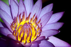 Waterlily Structure Royalty Free Stock Photo
