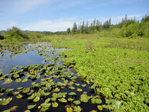 Waterlily Sumpf Lizenzfreies Stockfoto