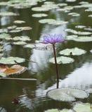 Waterlily. Taken in Tahiti Royalty Free Stock Photo