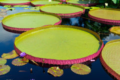Waterlily in tropical garden Stock Image