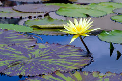 Waterlily in tropical garden Stock Photo