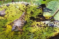 Waterlily und Caiman in Amazonas lizenzfreies stockbild