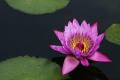 Waterlily und Lilienauflagen Lizenzfreies Stockfoto