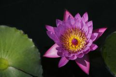 Waterlily und Lilienauflagen Lizenzfreie Stockfotografie