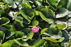 Waterlily unter grünen Blättern Lizenzfreie Stockbilder