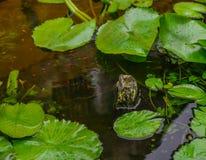 Waterlily växter med den guld- fisken royaltyfri fotografi