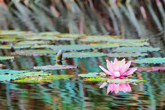Waterlily in vijver stock foto