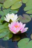 Waterlily w ogrodowym stawie zdjęcia royalty free