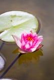 Waterlily w ogrodowym stawie fotografia royalty free
