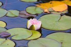 Waterlily w ogrodowym stawie zdjęcie stock