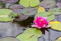 Waterlily w ogrodowym stawie zdjęcia stock