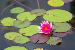 Waterlily w ogrodowym stawie obrazy royalty free