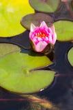 Waterlily w ogrodowym stawie obraz royalty free