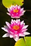 Waterlily w ogrodowym stawie fotografia stock