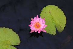 Waterlily w stawie Zdjęcie Royalty Free