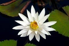 Waterlily w tropikalnym ogródzie Zdjęcia Royalty Free