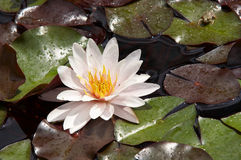 Waterlily on the water Royalty Free Stock Photos