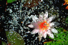 Waterlily and Water Fountain. On the garden Stock Photos