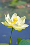 Waterlily. A water lily floating in the river royalty free stock photography