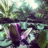 Waterlily. Water lily pond royalty free stock photo
