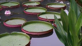 Waterlily waterlilies giant lilypads Royalty Free Stock Photos
