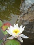 waterlily 库存照片
