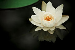 Waterlily White. The water lily of southern thailand. A famous flower Stock Photos