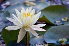 WaterLily. White waterlily - Aquatic flower - Ninfea Royalty Free Stock Photo