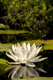 Waterlily. White tropical lotus waterlily bloom Stock Photography