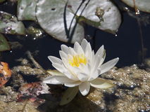 Waterlily. White water lilies in a pond Stock Photography