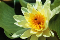 Waterlily yellow Stock Image