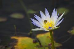 Waterlily z małą pszczołą Fotografia Royalty Free