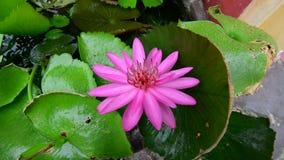 Waterlilybloem het bloeien stock videobeelden