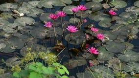 Waterlilybloemen het bloeien stock footage