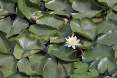 Waterlotusbloem Royalty-vrije Stock Foto's