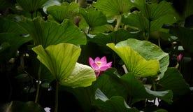 Waterlotusbloem Stock Fotografie